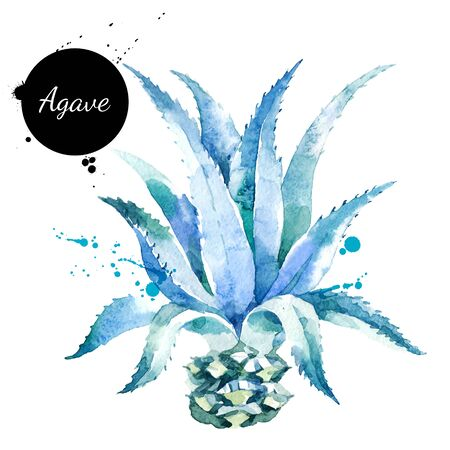 Watercolor hand drawn agave plant illustration. Vector painted sketch isolated on white background