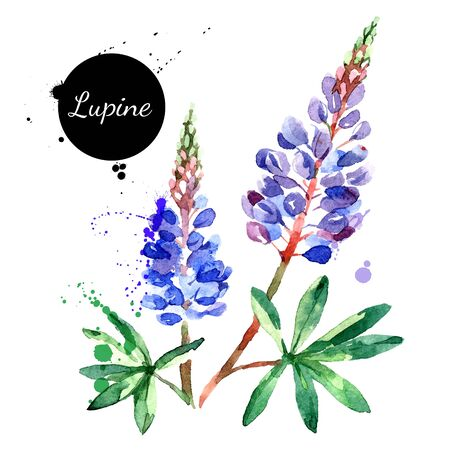 Hand drawn watercolor lupine flower vector illustration. Painted sketch botanical herbs isolated on white background Vettoriali