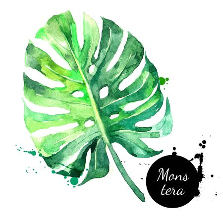Hand drawn sketch watercolor tropical leaf monstera. Vector painted isolated exotic nature illustration