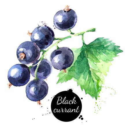 Hand drawn watercolor painting black currant on white background. Vector illustration of berries