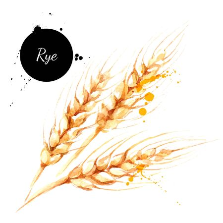 Watercolor spikelets of rye product vector illustration. Painted isolated natural organic fresh eco food on white background
