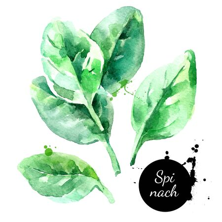 Watercolor hand drawn fresh spinach herb. Isolated organic natural green eco food illustration on white background Ilustração