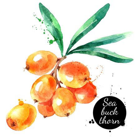Hand drawn watercolor painting sea buckthorn on white background. Vector illustration of berries