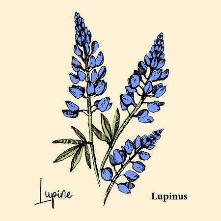 Hand drawn sketch botanical wildflower background. Vector illustration of medical herb. Lupine flower