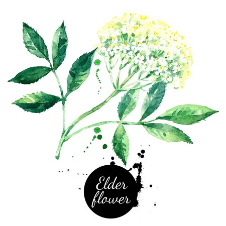 Watercolor hand drawn elder flower illustration. Vector painted sketch isolated on white background