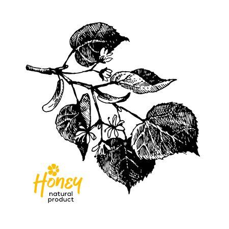 Hand drawn sketch honey background. Vintage vector illustration of linden flowers 向量圖像
