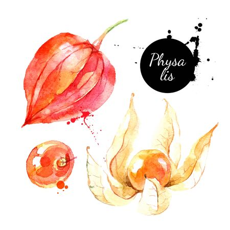 Watercolor hand drawn physalis berry fruit illustration. Vector painted sketch isolated on white background. Superfoods poster Ilustración de vector