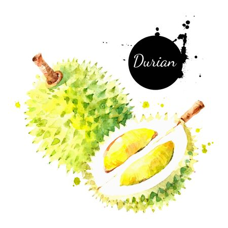 Watercolor hand drawn durian fruit illustration. Vector painted sketch isolated on white background. Superfoods poster 向量圖像