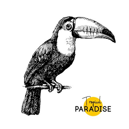 Hand drawn sketch black and white vintage exotic tropical bird toucan. Vector illustration isolated object 向量圖像