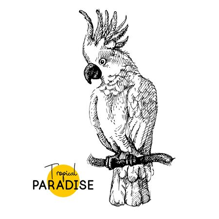 Hand drawn sketch black and white vintage exotic tropical bird cockatoo parrot. Vector illustration isolated object 向量圖像