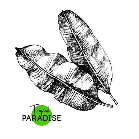 Hand drawn sketch tropical paradise plant banana palm leaf background. Black and white vector illustration