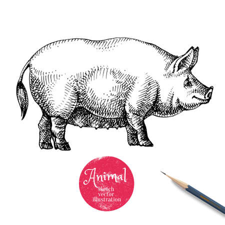 Hand drawn sketch pig head illustration. Isolated farm animal profile on white background. Symbol of new year 2019