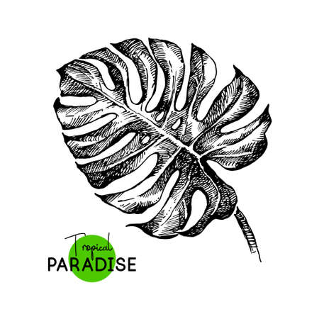 Hand drawn sketch tropical paradise plants monstera leaf background. Black and white vector illustration 向量圖像
