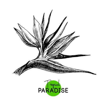 Hand drawn sketch tropical paradise plant bird of paradise flower background. Black and white vector illustration