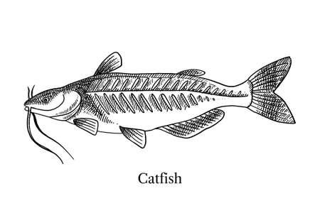 Hand drawn sketch fish catfish. Vector black and white vintage illustration
