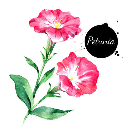 Hand drawn watercolor petunia flower vector illustration. Painted sketch botanical herbs isolated on white background