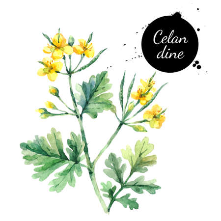 Hand drawn watercolor celandine flower illustration. Painted sketch botanical herbs isolated on white background