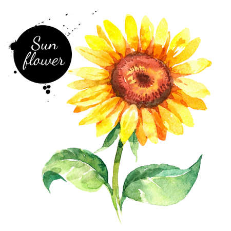 Hand drawn watercolor sunflower illustration. Vector painted sketch botanical herbs isolated on white background Banco de Imagens