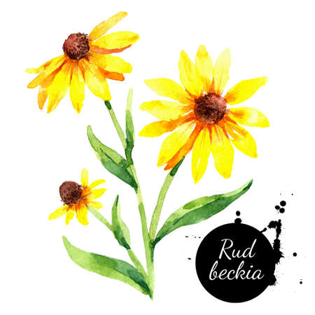 Hand drawn watercolor rudbeckia illustration. Black eyed Susan flower. Vector painted sketch botanical herbs isolated on white background