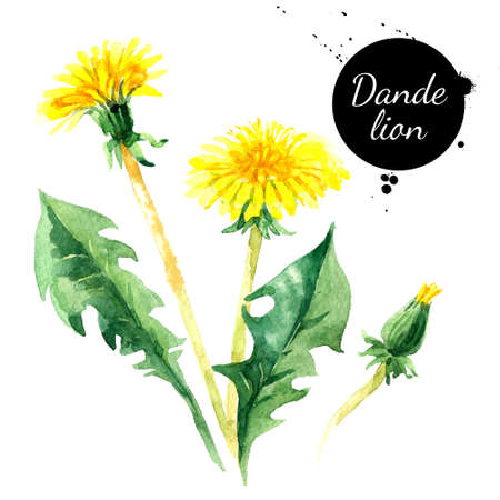 Hand drawn watercolor dandelion flower illustration. Painted sketch botanical herbs isolated on white background