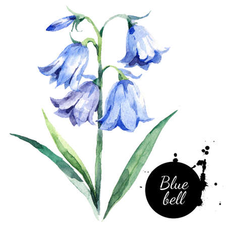 Hand drawn watercolor bluebell flower illustration. Painted bellflower sketch botanical herbs isolated on white background