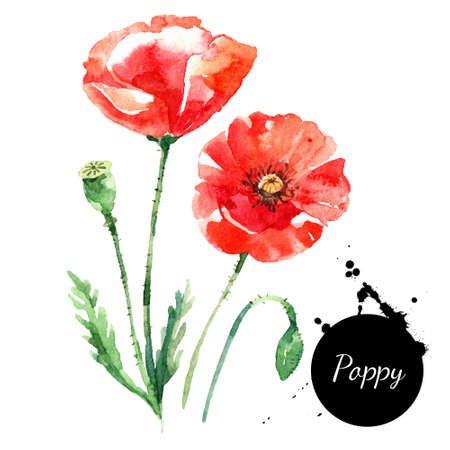 Hand drawn watercolor poppy vector illustration. Painted sketch botanical herbs isolated on white background