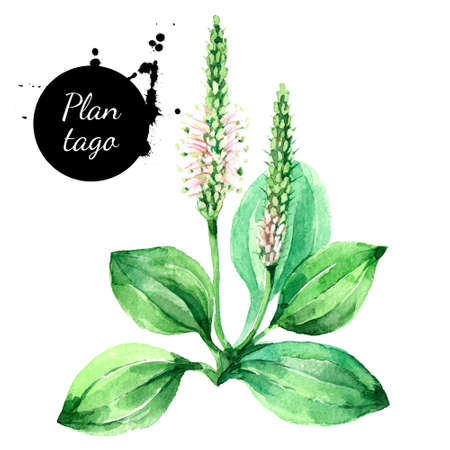 Hand drawn watercolor plantago illustration. Painted sketch botanical herbs isolated on white background Banco de Imagens