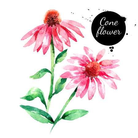 Hand drawn watercolor purple coneflower vector illustration. Painted sketch botanical herbs isolated on white background Banco de Imagens