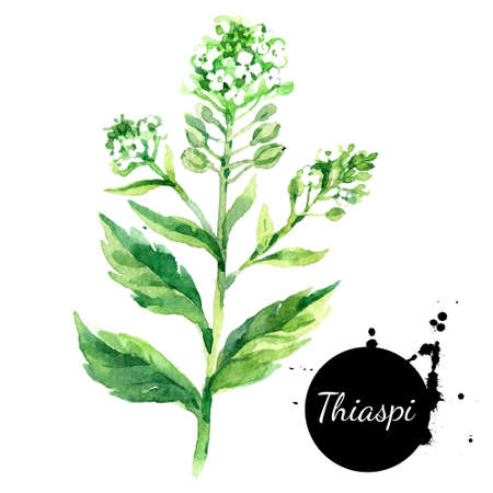 Hand drawn watercolor Thlaspi flower illustration. Vector painted sketch botanical herbs isolated on white background
