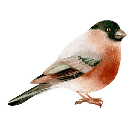 Watercolor winter forest wild animal bird. Bullfinch. Painted isolated hand drawn illustration.