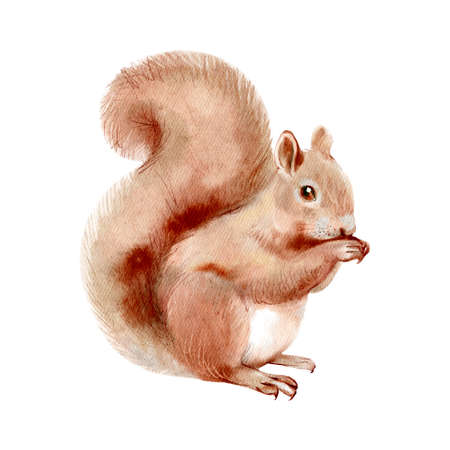 Watercolor winter forest wild animal. Squirrel. Painted isolated hand drawn illustration.