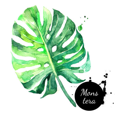 Hand drawn sketch watercolor tropical leaf monstera. Painted isolated exotic nature illustration Banco de Imagens