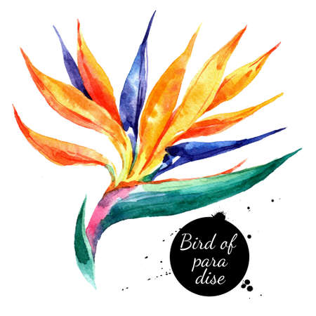 Hand drawn sketch watercolor tropical flower Bird of Paradise. Painted isolated exotic nature illustration