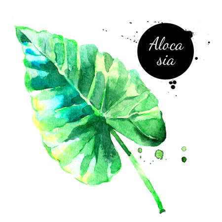 Hand drawn sketch watercolor tropical leaf alocasia. Vector painted isolated exotic nature illustration Banco de Imagens