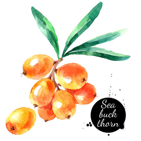 Hand drawn watercolor painting sea buckthorn on white background. Illustration of berries