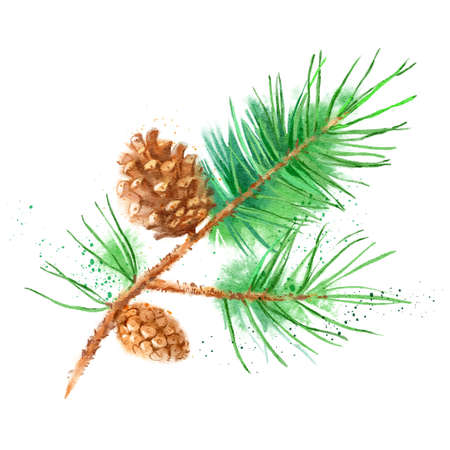 Watercolor pine fir branch cone illustration. Vector painted isolated Christmas element on white background