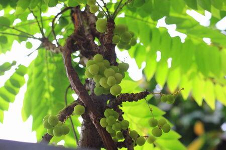 more mature: star gooseberry on tree Stock Photo