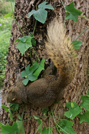 Brown squirrel perched on a tree are green   photo