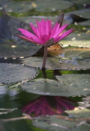 pink lotus blooming in the tropical garden photo