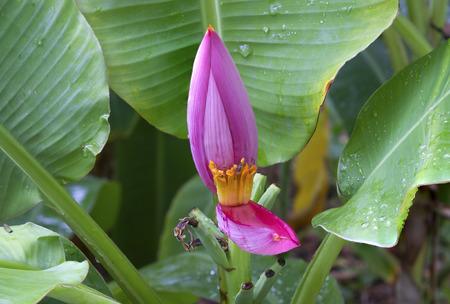 inflorescence of the banana plant photo