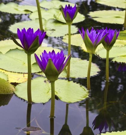 nelumbo nucifera: Beautiful lotus flower