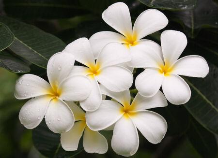 Close up of frangipani flower or Leelawadee flower on the tree photo