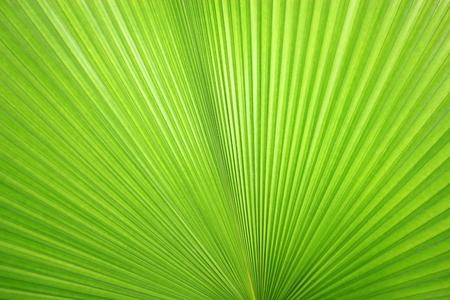 シュロの葉の緑のテクスチャ