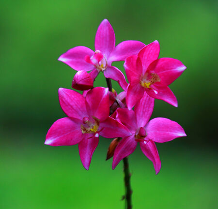 streaked: Pink streaked orchid flower Stock Photo