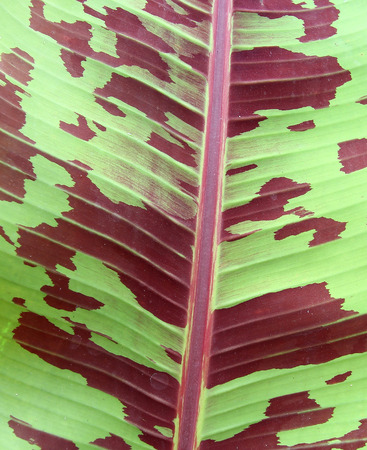Abstract of banana leaf background photo