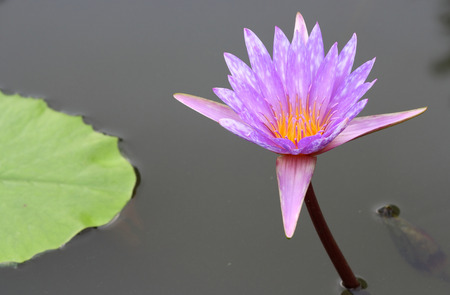 purple lotus flower on water photo