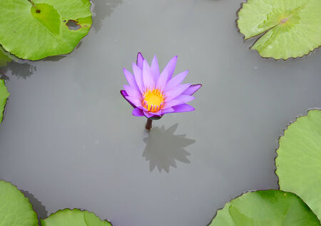 A beautiful pink waterlily or lotus flower in pond photo