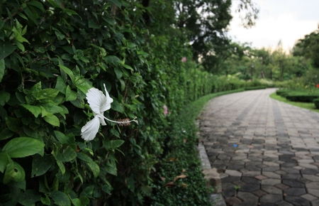 White hibiscus in the graden photo