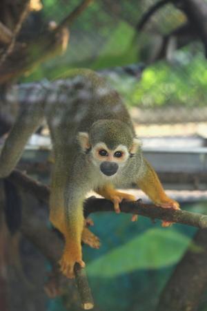 sciureus: Squirrel Monkey (Saimiri sciureus) Stock Photo