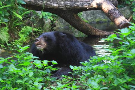 black bear: Orso nero in acqua